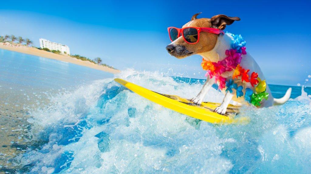 Surfer Hund